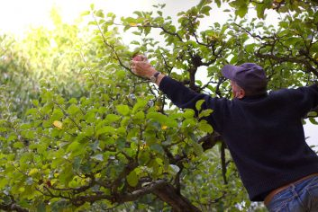 Man-on-ladder-leaning-over-dangerously-to-pick-an-apple